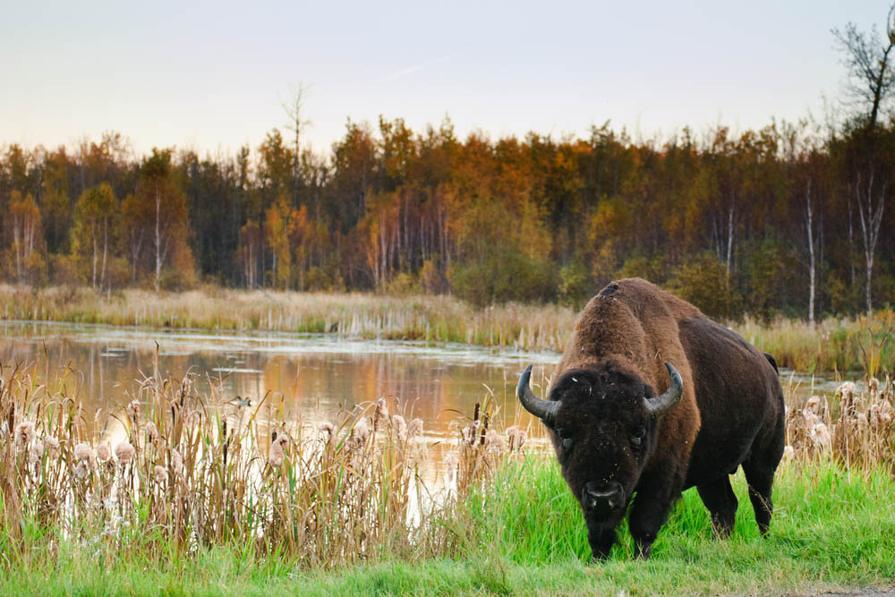 Summer Activities - Bison